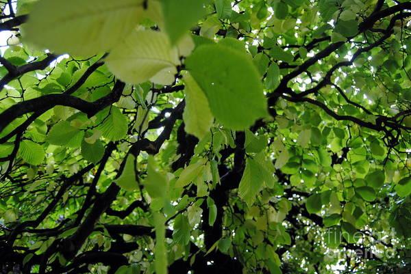 Photograph - Leafy Heaven 3 by Rachael Shaw