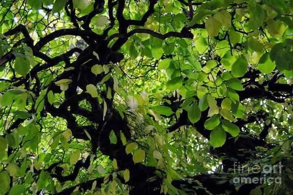 Photograph - Leafy Heaven by Rachael Shaw