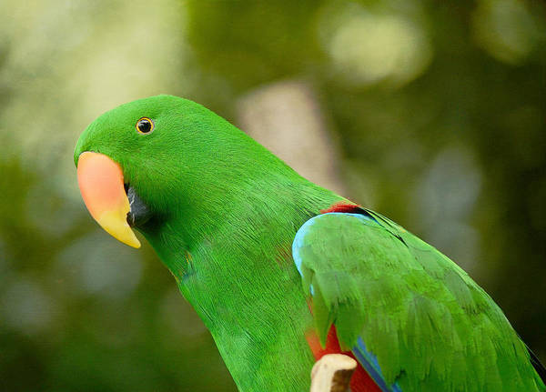 Eclectus Parrots Photograph - Lean Green Machine by Fraida Gutovich