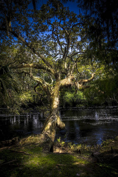 Oak Trees Photograph - Leaning Oak by Marvin Spates