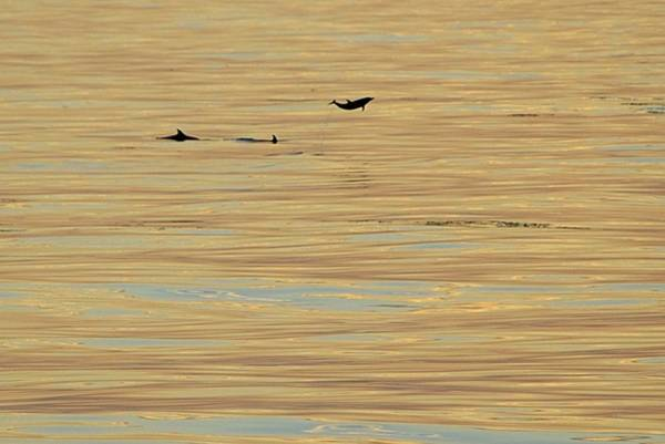 Photograph - Leaping Dolphin And Golden Sea by Bradford Martin