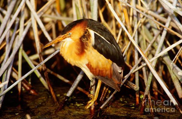 Ixobrychus Photograph - Least Bittern by Art Wolfe