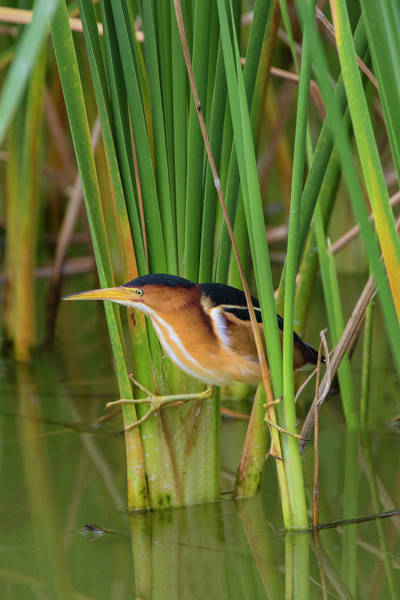 Cattails Wall Art - Photograph - Least Bittern, Ixobrychus Exilis by Larry Ditto