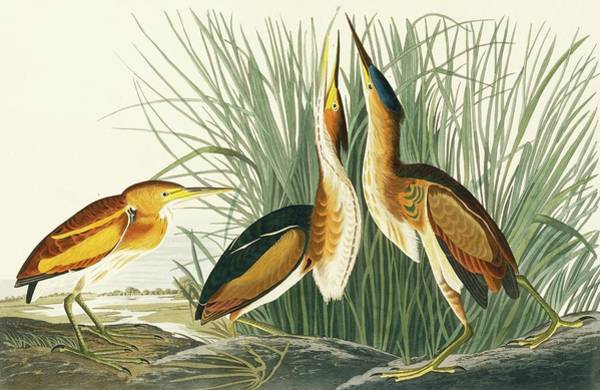 Ixobrychus Photograph - Least Bittern by Natural History Museum, London/science Photo Library