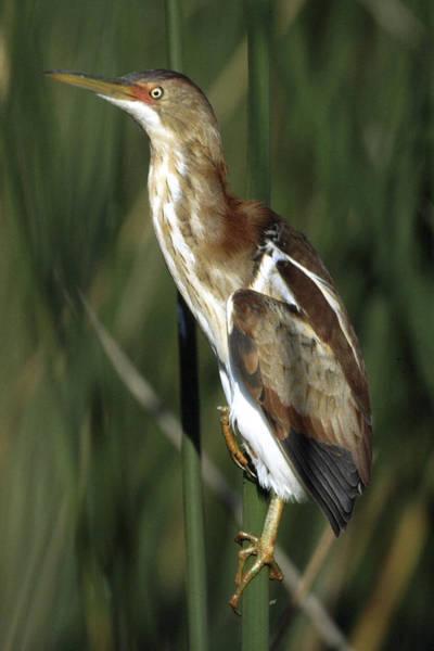 Ixobrychus Photograph - Least Bittern On A Bulrush by Bradford Martin