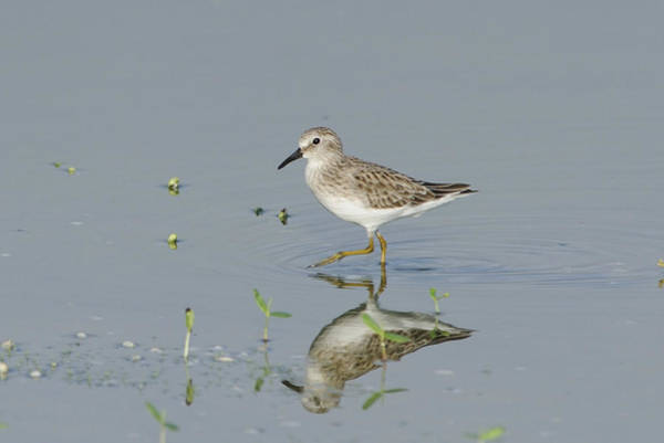 Photograph - Least Sandpiper On A Pond by Bradford Martin