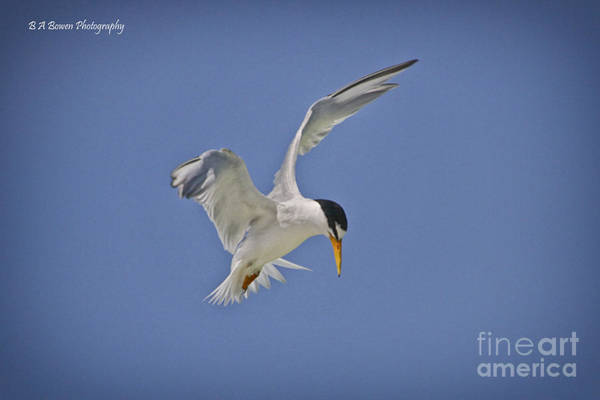 Photograph - Least Tern Hovering by Barbara Bowen