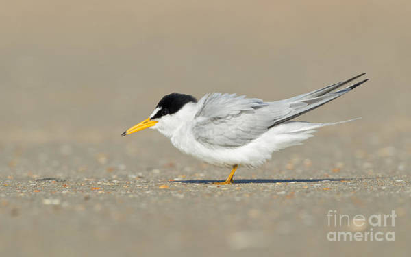 Photograph - Least Tern by Joshua Clark