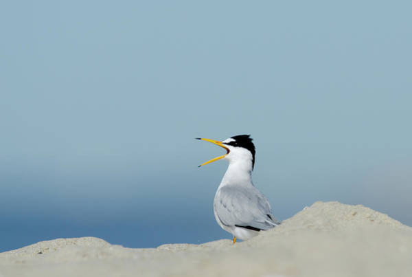 May Day Photograph - Least Tern Sternula Antillarum Calling by David Tipling