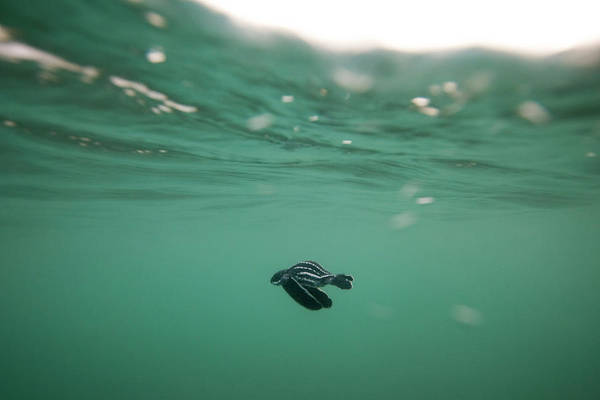 Turtle Photograph - Leatherback Turtle Hatchling by Scubazoo/science Photo Library