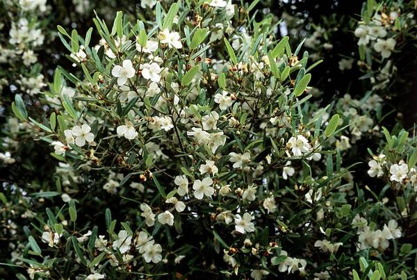 Wall Art - Photograph - Leatherwood (eucryphia Lucida) by Adrian Thomas/science Photo Library