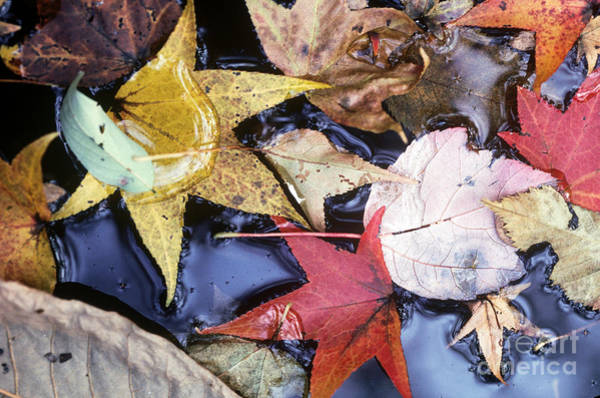 Photograph - Leaves And Brook by Farrell Grehan