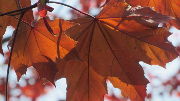 Photograph - Leaves Backlit 1 by Anita Burgermeister