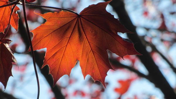 Photograph - Leaves Backlit 2 by Anita Burgermeister