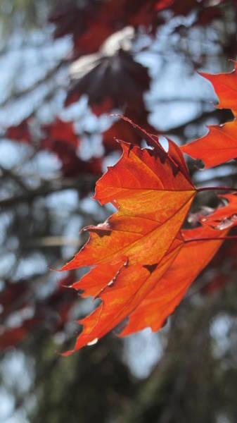 Photograph - Leaves Backlit 3 by Anita Burgermeister