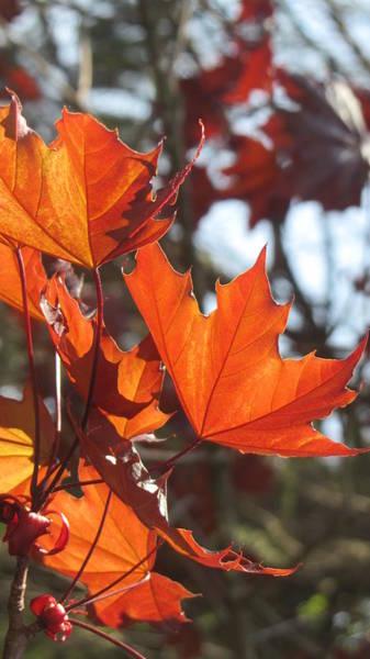 Photograph - Leaves Backlit 4 by Anita Burgermeister