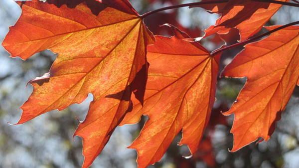 Photograph - Leaves Backlit 5 by Anita Burgermeister