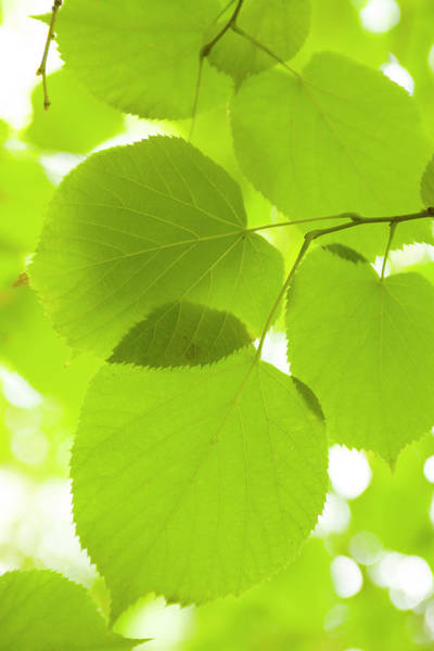 Elm Tree Photograph - Leaves Of Linden Tree, Botanic Gardens by Greg Elms