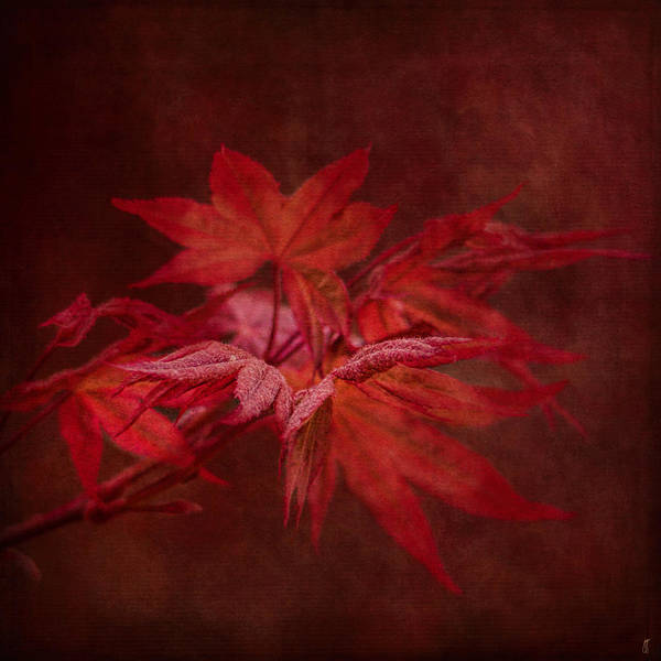 Photograph - Leaves Of The Japanese Maple by Jai Johnson