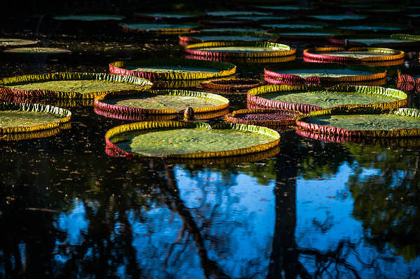 Victoria Amazonica Wall Art - Photograph - Leaves Of Victoria Regia With Trees Reflections. Royal Botanical Garden In Mauritius by Jenny Rainbow