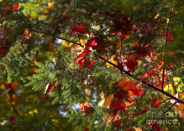 Photograph - Leaves On Evergreen by Steven Ralser