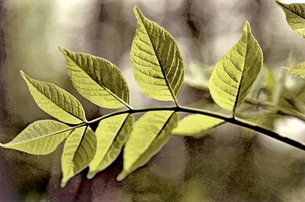 Photograph - Leaves by Phyllis Meinke