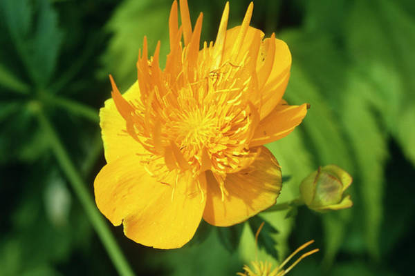 Golden Gardens Photograph - Ledebour Globeflower by Sally Mccrae Kuyper/science Photo Library