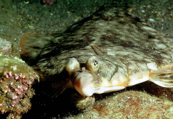Left-eyed Flounder (family Bothidae) On Sea Bed Art Print