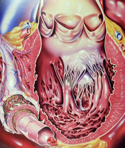 Internal Organs Photograph - Left Ventricle Of Heart by John Bavosi