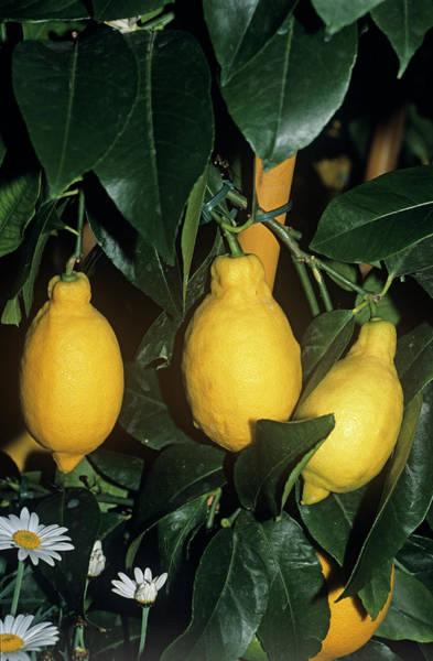 Lima Photograph - Lemon 'garey's Eureka' Fruit by Adrian Thomas/science Photo Library