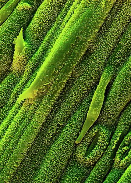 Waxy Photograph - Lemon Grass Leaf by Stefan Diller/science Photo Library