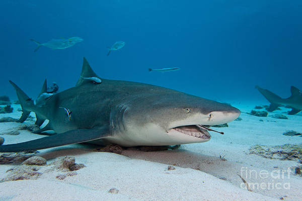 Carcharhinidae Photograph - Lemon Shark With Remoras by David Fleetham