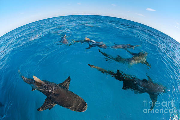 Carcharhinidae Photograph - Lemon Sharks, Bahamas by David Fleetham