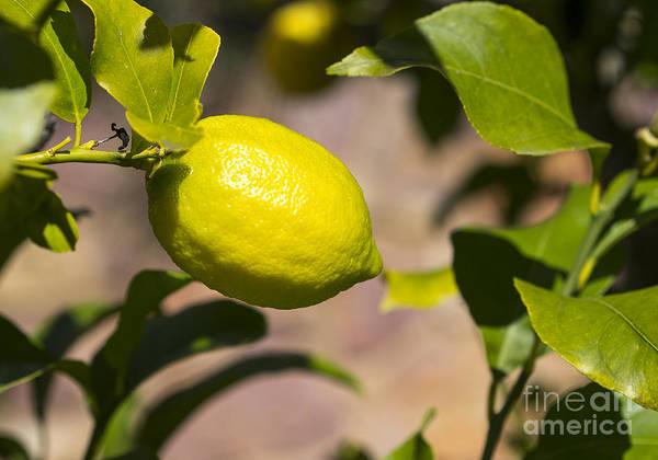 Photograph - Lemon Tree Very Pretty by Steven Ralser