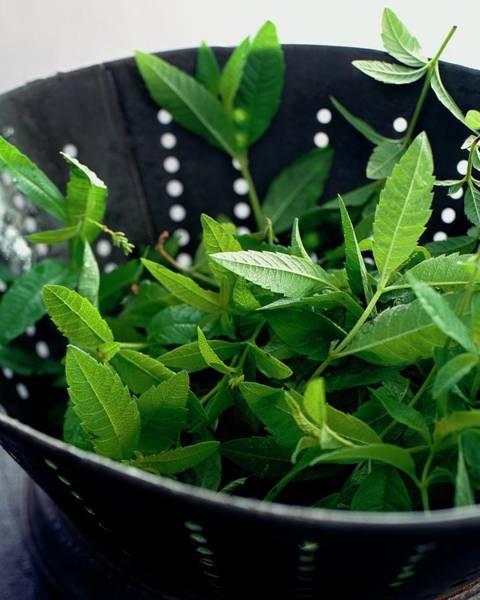 Photograph - Lemon Verbena Herbs by Romulo Yanes