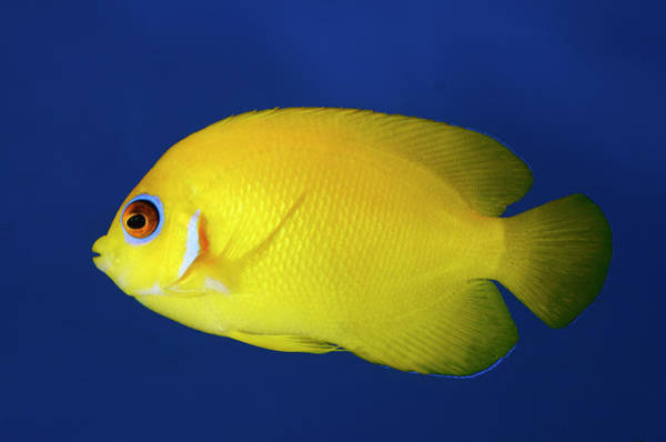 Pomacentridae Photograph - Lemonpeel Angelfish by Nigel Downer