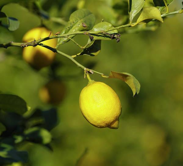 Lemon Photograph - Lemons On Lemon Tree by Ken Welsh
