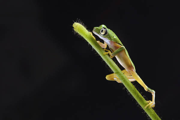 Critically Endangered Wall Art - Photograph - Lemur Leaf Frog by Marianne Brouwer
