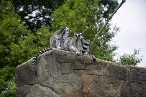 Photograph - Lemurs On High by Chris Flees