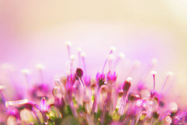 Jason Day Photograph - Lensbaby Floral Bokeh by S0ulsurfing - Jason Swain