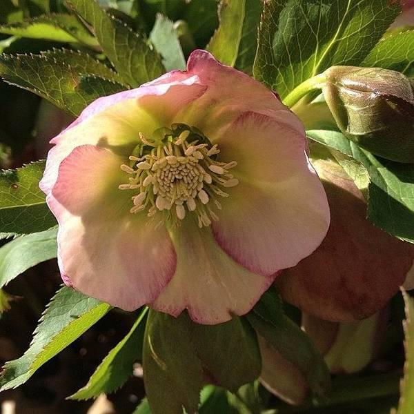 Bloom Wall Art - Photograph - #lentenrose #helebore #spring #flower by Teresa Mucha