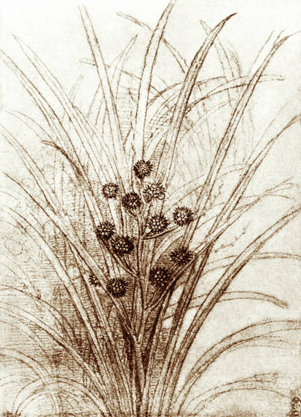 Wall Art - Photograph - Leonardo Da Vinci's Rushes In Flower by Sheila Terry