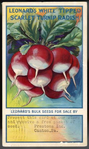 Developed Drawing - Leonard's White Tipped Scarlet  Turnip by Mary Evans Picture Library