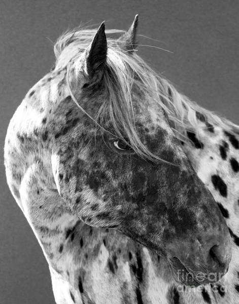 Wall Art - Photograph - Leopard Appaloosa by Carol Walker