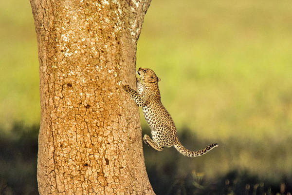 Panthera Pardus Photograph - Leopard Cub Panthera Pardusclimbing by Panoramic Images