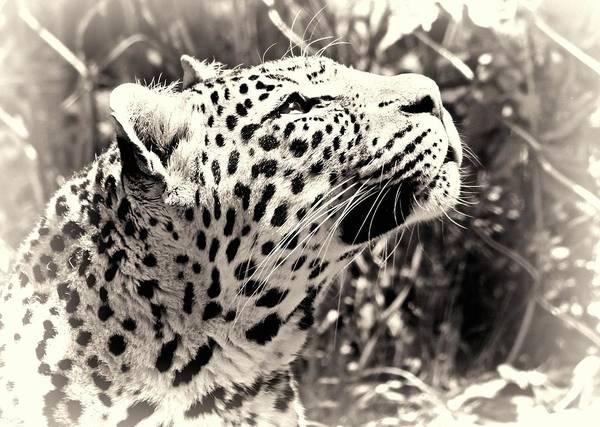 Photograph - Leopard Dreams by Dan Sproul
