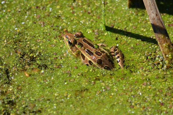 Horicon Marsh Photograph - Leopard Frog by Chris Tennis
