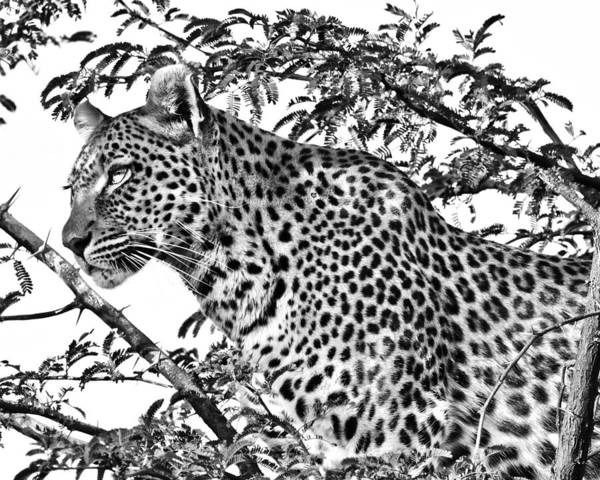 Photograph - Leopard by Gigi Ebert