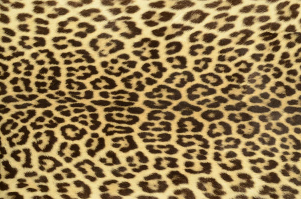 Cowhide Wall Art - Photograph - Leopard Hide by Philipcacka