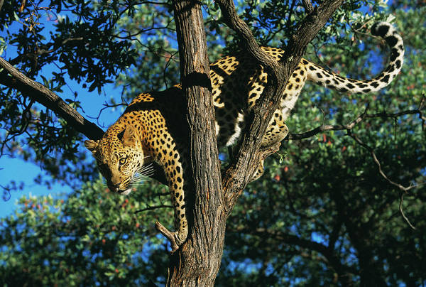Panthera Pardus Photograph - Leopard In Tree by Tony Camacho/science Photo Library